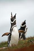 Der Magellanpinguin (Spheniscus magellanicus) läßt in der Brutkolonie sehr oft seinen lauten, in Reihen ausgestoßenen Ruf hören.| The Magellanic penguin (Spheniscus magellanicus) is highly vocal at the breeding colony and the loud series of calls can be heard from far away.
