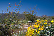 Brittlebush and Ocotillo blooming in the spring in the Anza-Borrego Desert, California, USA