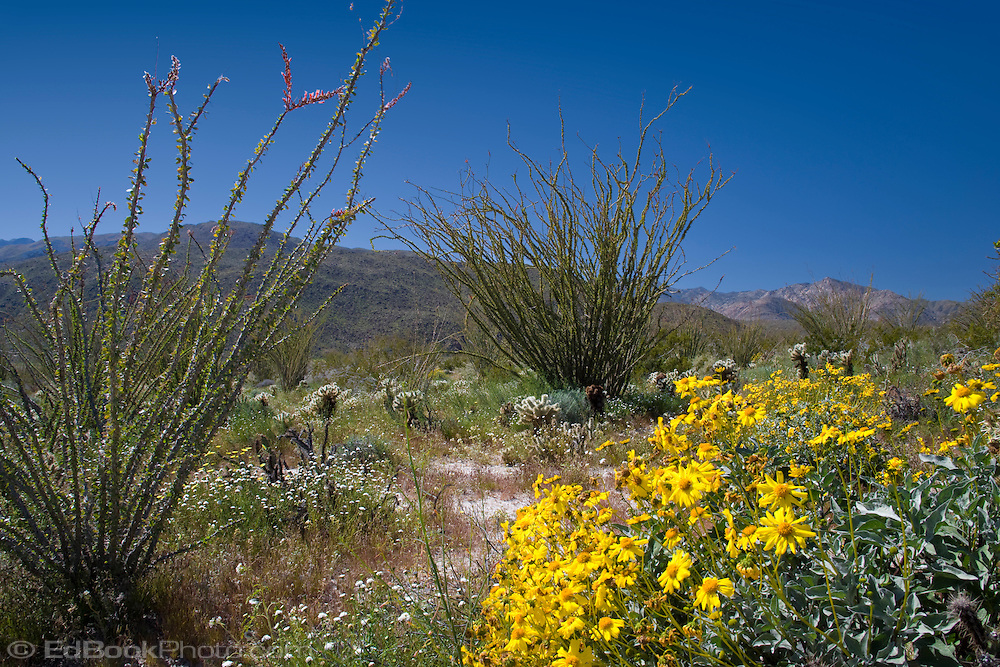 Brittlebush and Ocotillo blooming in the spring in the Anza-Borrego Desert, California, USA