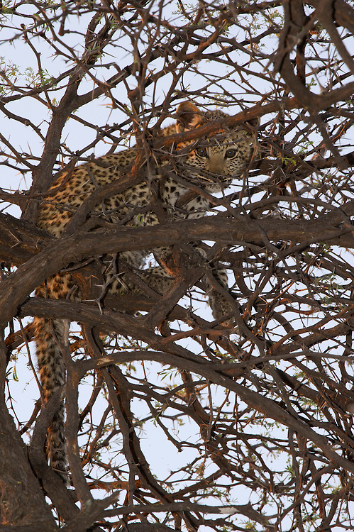 Leopard ((Panthera pardus) Young cub hiding in thorn three<br /> Moremi Game Reserve, Okavango Delta<br /> BOTSWANA<br /> RANGE: Sub-Saharan Africa. Fragmented populations in Pakistan, India, Sri Lanka, Indochina, Malaysia, and China.<br /> IUCN: Near Threatened