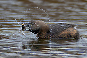 A pied-billed grebe (Podilymbus podiceps) twists its head as it pulls an invertebrate out of the water in one of the Promontory Ponds in Magnuson Park, Seattle, Washington.