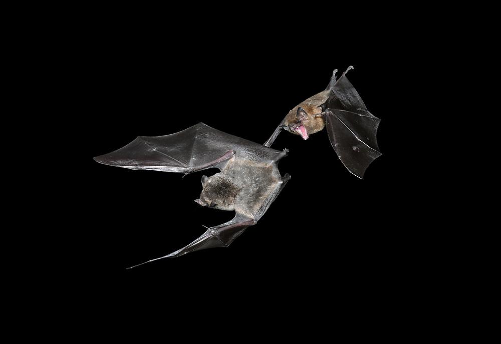 Common Long-tonged Bat Glossophaga longirostris (right) and - Geoffroy's hairy-legged Bat Anoura geoffroyi (left)