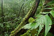Small-leaf Katydid (Pseudophyllinae)<br /> Yasuni National Park, Amazon Rainforest<br /> ECUADOR. South America<br /> HABITAT & RANGE:Small-leaf Katydid (Typophyllum mortuifolium)<br /> Yasuni National Park, Amazon Rainforest<br /> ECUADOR. South America<br /> HABITAT & RANGE: