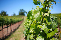 2013 May 13:  Williams Selyem Winery in Sonoma County's Russian River Valley.  Pinot Noir grape vines in summer sunlight.  Healdsburg, California.