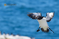 Razorbill in flight at Machias Seal Island, Maine, USA