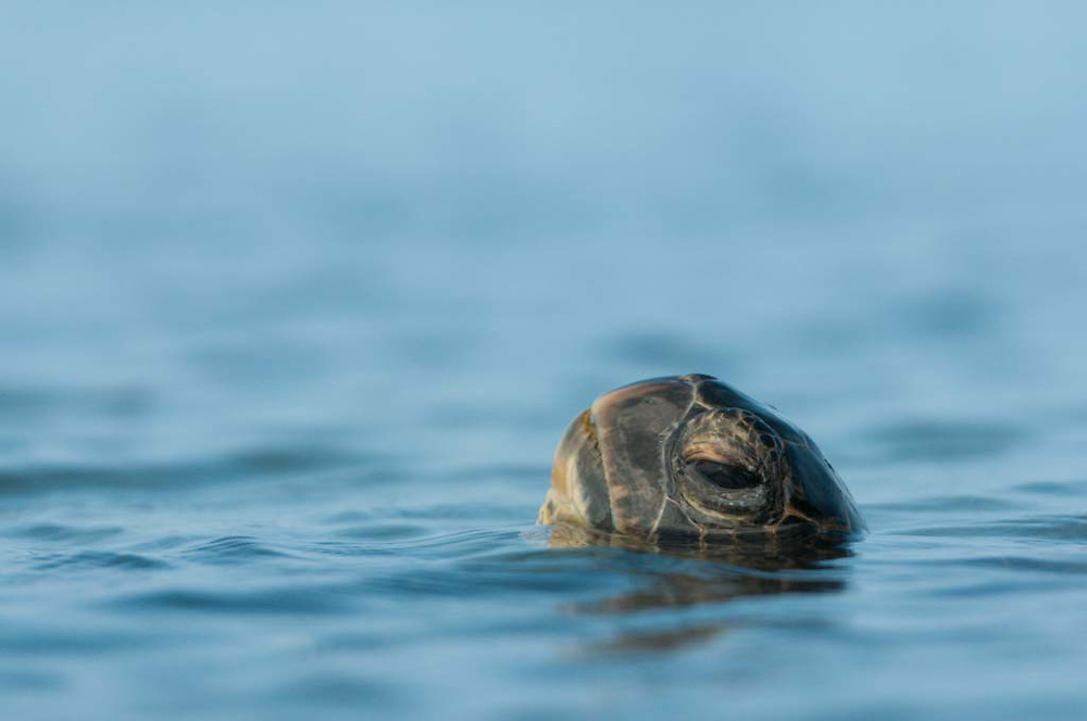 A green sea turtle takes a breath, raising it's head from a shallow pool near the shore in Kona, Hawaii.