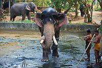 Inde, Etat du Kerala, Guruvayur, centre des elephants destines aux parades des temples du Kerala. // India, Kerala state, Guruvayur, elephant center, training for the temple parade