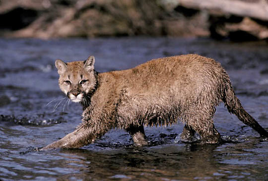Mountain Lion or Cougar, (Felis concolor) Young female cub crossing shallow river. late fall. Montana.  Captive Animal.