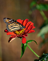 Monarch Butterfly on a Red Flower. Autumn Backyard Nature in New Jersey. Image taken with a Nikon D810a camera and 300 mm f/4 lens (ISO 200, 300 mm, f/5.6, 1/1250 sec)