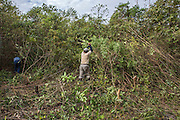 The preparation of the forest before the burning requires the involvement of the whole community. The agricultural system of the indigenous communities provides a rotating system of the arable lands. Every 10-15 years, they return to the land abandoned after a preceding crop (South Rupununi).