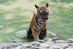 May 7, 2017 - Kolkata, India - A  Tiger beats the heat in a creek on a hot summer day at alipore Zoo in Kolkata city in India, on May 07,2017 in Kolkata,India. (Credit Image: © Debajyoti Chakraborty/NurPhoto via ZUMA Press)