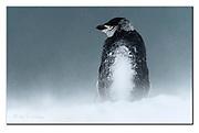 Snowy Chinstrap Penguin at Penguin Island, South Shetland Islands, Antartctica.  Nikon D500, 200-400mm @ 400mm (600mm in full frame), f4, EV+0.33, 1/4000sec, ISO200, Aperture priority