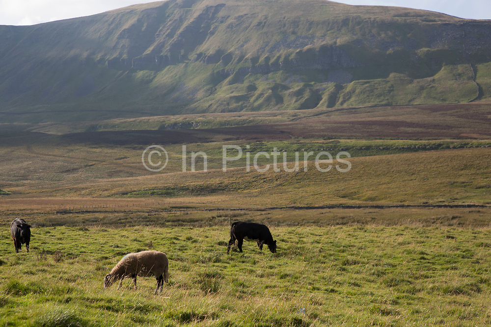 Livestock grazing on the grassland below Pen-y-ghent or Penyghent fell in the Yorkshire Dales. It is one of the Yorkshire Three Peaks and lies some 3 kilometres east of Horton in Ribblesdale. This rocky outcrop can be seen from miles around all over the Dales making it one of the most recognisable landmarks in the landscape. North Yorkshire, England, UK.