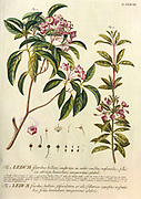 Coloured Copperplate engraving of a Ledum (Rhododendron) shrub from hortus nitidissimus by Christoph Jakob Trew (Nuremberg 1750-1792)