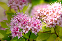 Tiny pink and white florets on the tree
