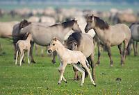 Konik horse, young foal and mother. Oostvaardersplassen, Netherlands. Mission: Oostervaardersplassen, Netherlands, June 2009.