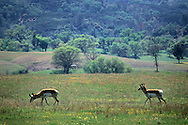 Antelope in the Isabel Valley, Santa Clara County, California