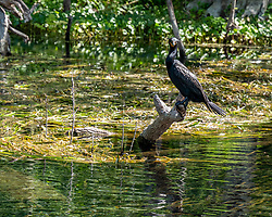 Double-Crested Cormorant sitting atop a stump on the Silver River in Ocala Florida.