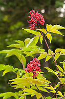 The common red elderberry is found throughout most of North America, excluding the Gulf coastal plain and the states of South Carolina, Arkansas, Oklahoma, Nebraska and Kansas. Not as often used as it once was in the past, elderberries are known to make fantastic jellies and wines. The very fragrant white flowers in spring attract many species of hummingbirds and butterflies. Traditionally used medicinally by Native Americas - the inner bark was sometimes used as a diuretic or as a way to induce vomiting. These were found and photographed in the North Cascades just east of Mount Baker in Washington State.