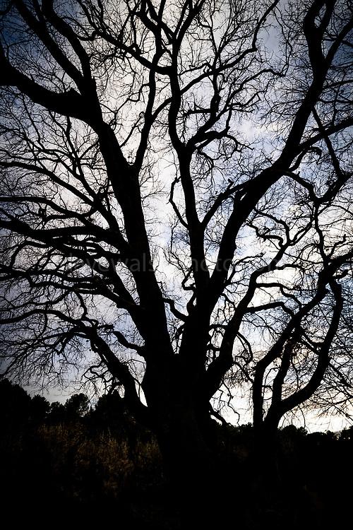 Wild branches at dusk. Quercus ilex - Mediterranean Oak, winter sunset