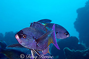 creole wrasse, Clepticus parrae, <br /> Lighthouse Reef, Belize, Central America<br /> ( Caribbean Sea )