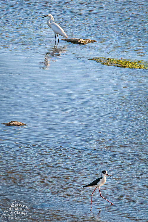 A Snowy egret (Egretta thula) and Black-necked stilt (Himantopus mexicanus) in the Los Angeles River. Sepulveda Basin Recreation Area, Los Angeles, California, USA