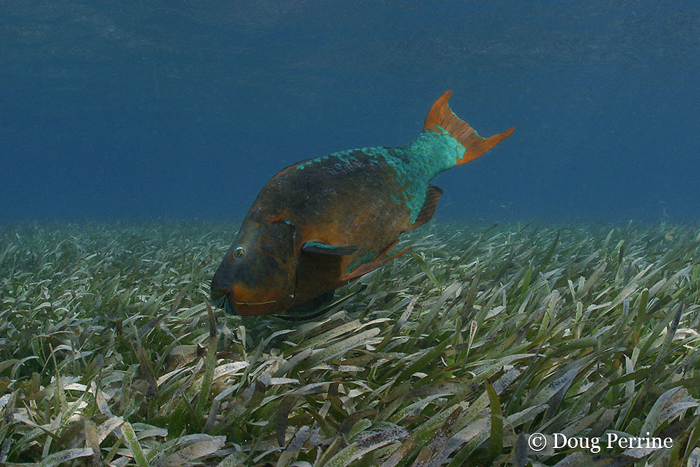 rainbow parrotfish, Scarus guacamaia, terminal phase male, with sharksucker, slender suckerfish, or remora, Echeneis naucrates, feeding in bed of turtle grass ( seagrass ), Thalassia testudinum, Hol Chan Marine Reserve, Ambergris Caye, Belize, Central America ( Caribbean Sea )