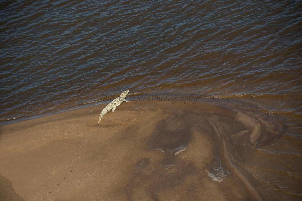 Spectacled caiman (Caiman crocodylus)<br /> Essequibo River<br /> GUYANA<br /> South America<br /> Longest river in Guyana