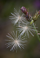 Detail of seeds caught by the spiky shapes of a thistle