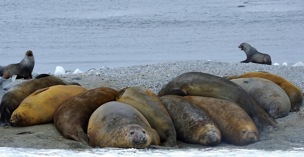 Southern Elephant Seals (Mirounga leonina) sleep on the beach. Shingle Cove, Coronation Island, South Orkney Islands, Antarctica. 28Feb16