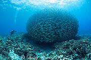 scuba diver films school of akule or bigeye scad, Selar crumenopthalmus, Keauhou Bay, Kona, Hawaii, USA ( Big Island ) Hawaiian Islands ( Central Pacific Ocean )