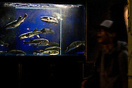 A young man walks past a restaurant fish tank in Tokyo, Japan.