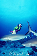 Michelle Cove uses a semi-closed rebreather to dive with Caribbean reef sharks, Carcharhinus perezi, New Providence Island, Tongue of the Ocean, near Nassau, Bahamas ( Western Atlantic Ocean ) MR 246