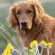 Portrait of golden retriever. Summer.