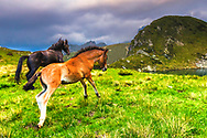 Playful foals in the mountain by a lake
