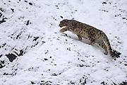 Leh - Sunday, Dec. 3, 2006: Adult male snow leopard (Unica unica) climbs snowy slope in Hemis National Park, Ladakh.  (Photo by Peter Horrell / www.peterhorrell.com).