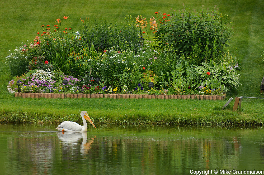 American white pelican (Pelecanus erythrorhynchos)  at edge of man-made pond<br />