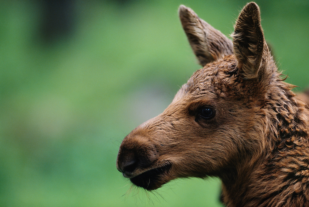 European Elk / Moose calf, Alces alces, Borås zoo, Sweden