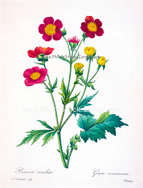 19th-century hand painted Engraving illustration of a Geum coccineum, common name dwarf orange avens or red avens, is a plant in the rose family, Rosaceae. By Pierre-Joseph Redoute. Published in Choix Des Plus Belles Fleurs, Paris (1827). by Redouté, Pierre Joseph, 1759-1840.; Chapuis, Jean Baptiste.; Ernest Panckoucke.; Langois, Dr.; Bessin, R.; Victor, fl. ca. 1820-1850.