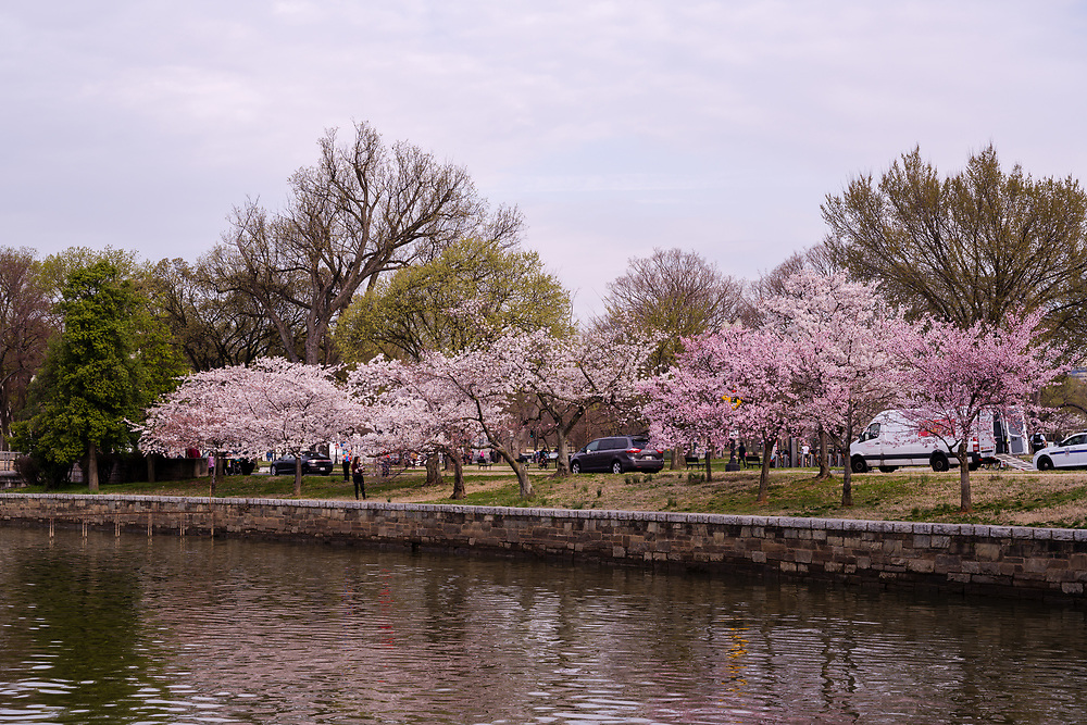 Washington, DC, USA — March 30, 2019.  Cherry Blossoms along the Tidal Basin display their pink flowers as thy approach peak bloom.