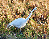 Great Egret (Ardea alba). Black Point Wildlife Drive. Merritt Island National Wildlife Refuge. Image taken with a Nikon D3s camera and 200-400 mm f/4 lens.