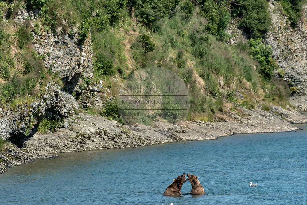 Two Grizzly bears play fight as they take a break from fishing for chum salmon in the lower McNeil River falls at the McNeil River State Game Sanctuary on the Kenai Peninsula, Alaska. Brown bear males often play together when they are content and well fed. The remote site is accessed only with a special permit and is the world's largest seasonal population of brown bears.