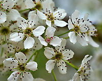 Pear (?) Tree Flowers. Image taken with a Fuji X-H1 camera and 60 mm f/2.4 macro lens (ISO 200, 60 mm, f/5.6, 1/110 sec).
