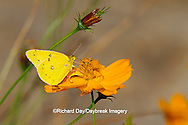 "03074-00219  Orange Sulphur butterfly (Colias eurytheme) on Orange Cosmos (Cosmos sulphureus ""Bright Lights"", Marion Co.,  IL"