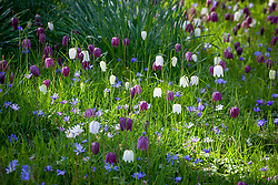 Fritillaria meleagris AGM (snake's head fritillary) with Anemone blanda in the long grass at Pettifers, Oxfordshire
