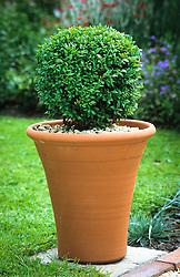Box ball in terracotta pot. Buxus sempervirens. Common box, European box
