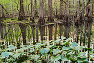 Cypress forest reflected in a pool in Highlands Hammock State Park, with spadderdock in the freground, Florida, © David A. Ponton