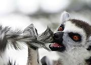Close up portrait of a Ring-tailed Lemur (Lemur catta).
