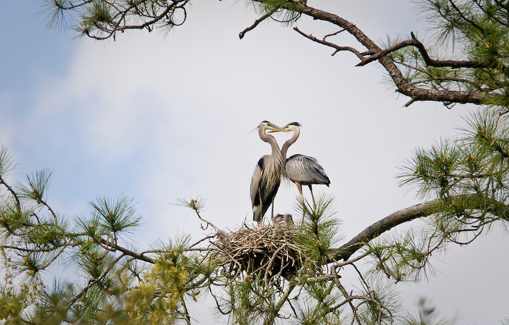 """Great blue herons nest in """"The Lost World,"""" a network of hummocks and marsh flats in the May River near Bluffton, SC."""