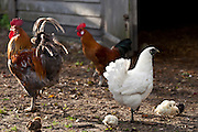 Chicken family hen, cockerel and chicks at Ferme de l'Eglise, Houesville, Normandy, France